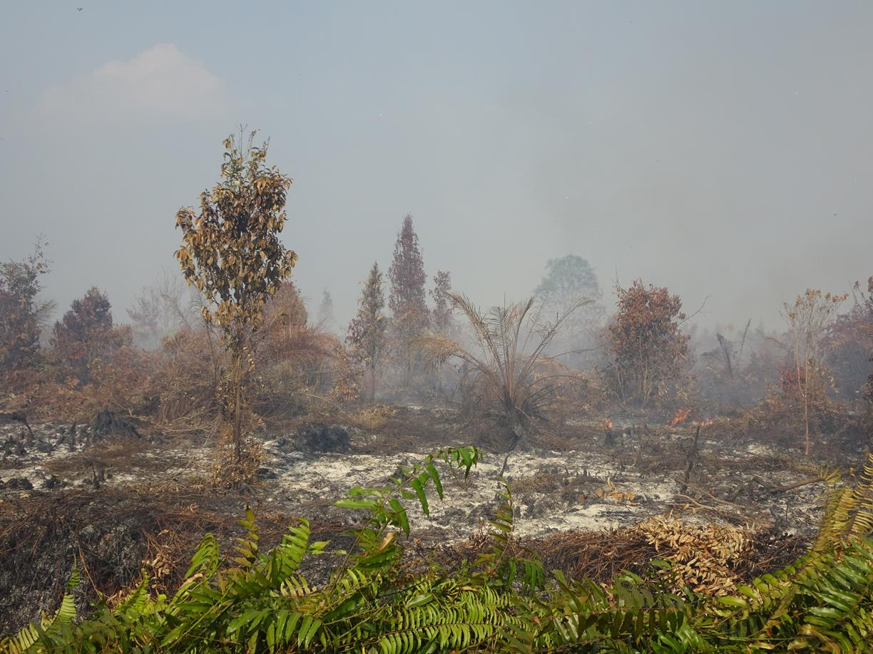 Fires razed young oil palm trees and other vegetations on peat dome which was formerly managed by APP supplier PT Rimba Rokan Perkasa which its permit revoked by the government in Buluh Apo village, Bengkalis, on coordinate  N1°8'54.40