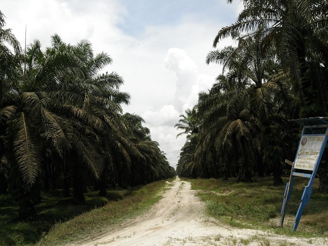 Kebun sawit PT Torganda kebun Rantau Kasai di Kecamatan Tambusai, Kabupaten Rokan Hulu.